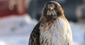 The hungry hawk and its prey – St Catharines - mosaicedition.ca-ea